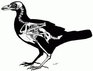 Raven skeleton by PaleoAeolos