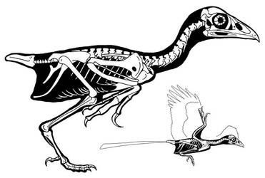 Changchengornis Skeleton by PaleoAeolos
