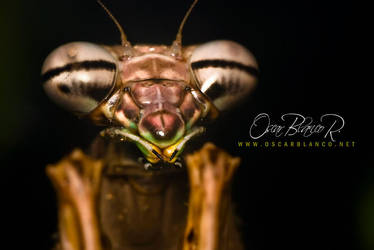 Praying Mantis 01 by otas32