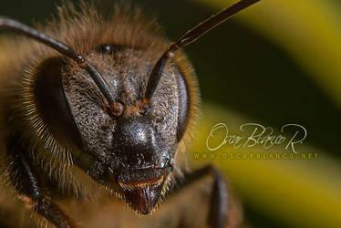 sleepy bee 001 by otas32