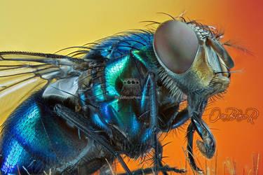 Lucilia sp - Blue flesh fly by otas32