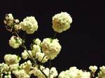 Sakura05 by sweetmoon