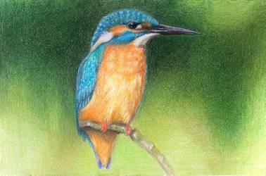 A Little Kingfisher by tanjadrawing