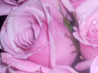 rose by wildflower18