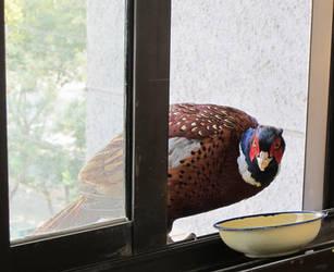Pheasant 03 by aixiaolai