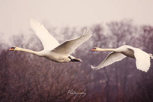 Leaving swans by cs4pro