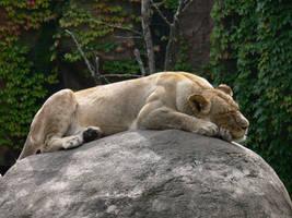 Female Lion by senzostock