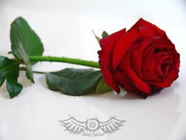 Stock 001 - Rose by senzostock