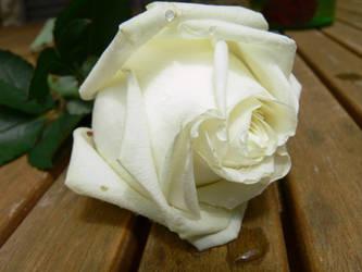 Stock 018 - Wet White Rose by senzostock