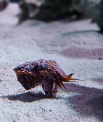 Flamboyant Cuttlefish by JulieKrizan
