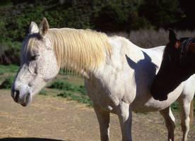 Pfeiffer Horses by guidoanselmi
