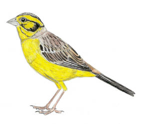 Prehistoric Canaries: Long-legged bunting by DiegoOA