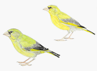 Prehistoric Canaries: Greenfinches by DiegoOA
