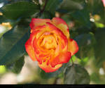 Fire Rose 1 by Esmeralda-stock