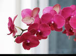 Deep Pink Orchid Flowers by Esmeralda-stock