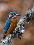 Kingfisher II by Arafinwearcamenel
