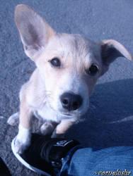 cute puppy by cornelusha