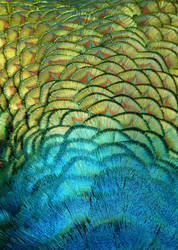 Peacock Back by Tienna