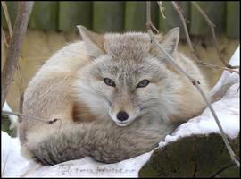 Corsac Fox by Tienna
