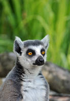 Ring-tailed portrait by Tienna