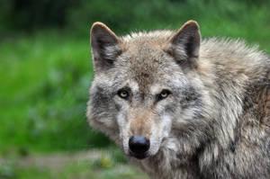 Grey Wolf by Tienna