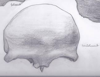 coronal bone by RavenAnabell