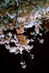 night sakura by akiraxpf