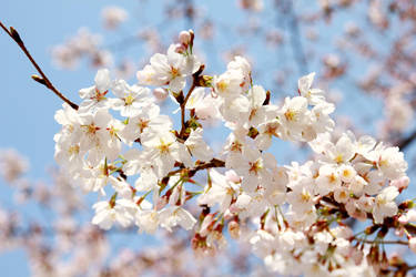 under the sun- sakura again by akiraxpf