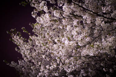 sakura by akiraxpf
