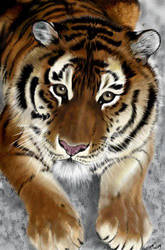 .. another .. tiger by wildtoele