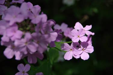 Flowers by numapompilius