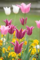 Paris Tulips by numapompilius