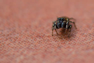 Tiny spider by Quincula