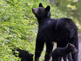Black Bear Mother and Her Cubs by JonUriah