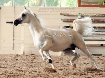 Arabian Stallion by SecretGiirl