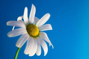 Daisy Blue by finkycake
