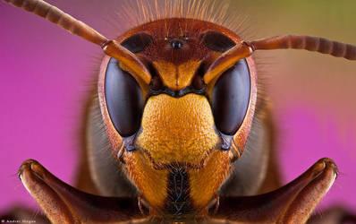 Hornet by andreimogan