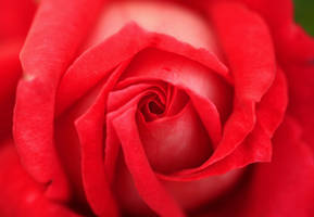 Rose by Coraloralyn