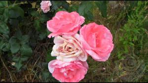 Roses by KillerSandy