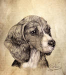 Bagel the Beagle in Pencil by shilohs