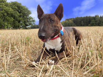 Bull Terrier by PatrikEffect