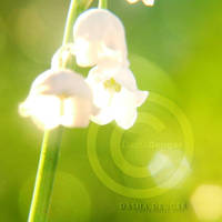 :Lilly of The Valley: by onixa