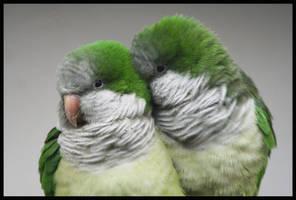 Quaker parrot by la-niebla