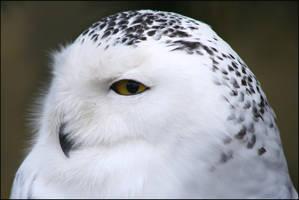 Snowy Owl by la-niebla