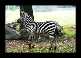 Mr Zebra by la-niebla