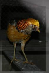 Golden Bird by la-niebla