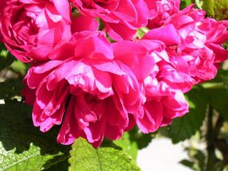 Rose Study.. by teiruina