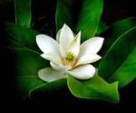 A Magnolia by PridesCrossing