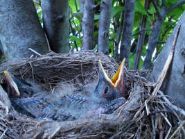Baby Robins 1 by PridesCrossing