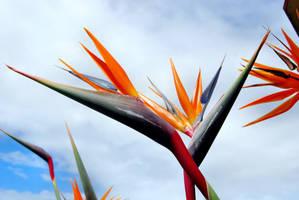 Bird of Paradise by kllebou